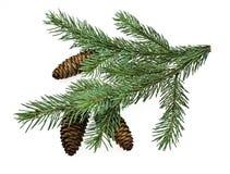 вал ели ветви стоковое изображение