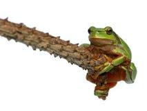 вал жабы лягушки стоковое фото rf