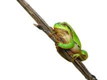 вал жабы Стоковая Фотография RF
