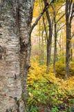 Вал желтой березы осени & пуща Appalachian Стоковые Изображения