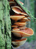 вал живущего гриба расшивы померанцовый вниз Стоковые Изображения RF