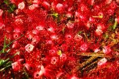 вал завода дуба barringtonia acutangula индийский Стоковая Фотография RF