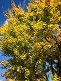 Вал клена в осени Стоковое Изображение