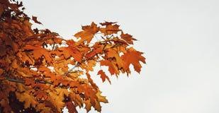 Вал клена в осени Стоковая Фотография