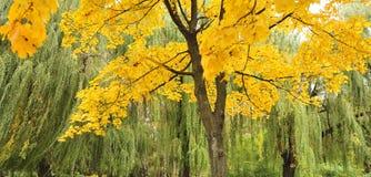 вал клена листва осени Стоковые Фото