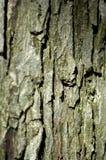 вал клена Стоковое фото RF