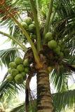 Вал кокоса Стоковые Изображения