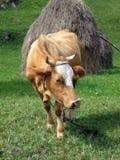 вал коровы стоковые фото