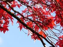 вал красного цвета клена Стоковые Изображения
