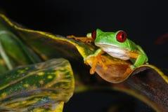 вал красного цвета листьев лягушки глаза Стоковые Фото