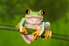 вал красного цвета лягушки глаза ветви Стоковое Изображение
