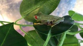 вал красного цвета лягушки глаза Стоковое фото RF