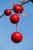 вал красного цвета осени яблок Стоковое фото RF