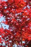 вал красного цвета японского клена стоковые изображения rf