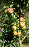 вал крупного плана ветви яблока Стоковое Фото