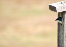 вал ласточки Стоковое Изображение RF