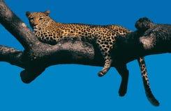 вал леопарда Стоковые Фото