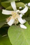 вал лимона цветка Стоковое Изображение RF