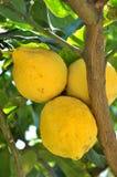 вал лимона Стоковые Изображения