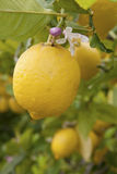 вал лимона Стоковые Фото