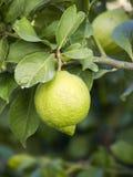 вал лимона Стоковые Изображения RF