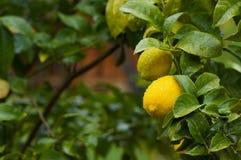 вал лимонов 2 стоковая фотография