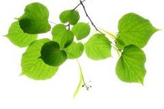 вал липы известки листьев Стоковое Фото