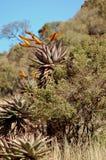 вал листва алоэ Стоковое Изображение RF