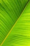 вал листьев банана Стоковое фото RF