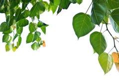 вал листьев bodhi peepal Стоковое фото RF