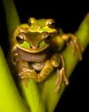 вал лягушек Стоковое Изображение