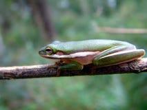 вал лягушки болотистых низменностей стоковое изображение