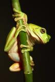 вал лягушки ветви зеленый вися Стоковое Фото
