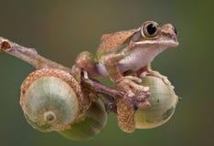 вал лягушки жолудей Стоковые Изображения