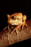 вал лягушки зеленый западный Стоковые Фото