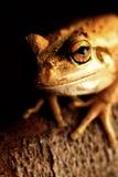 вал лягушки зеленый западный Стоковое Изображение RF