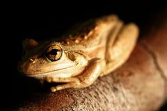 вал лягушки зеленый западный Стоковые Фотографии RF