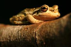 вал лягушки зеленый западный Стоковое Фото
