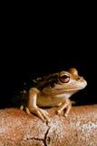 вал лягушки зеленый западный Стоковая Фотография RF