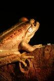 вал лягушки зеленый западный Стоковое фото RF