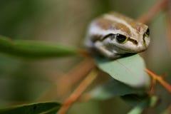 вал лягушки зеленый западный Стоковая Фотография
