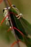 вал лягушки зеленый западный Стоковое Изображение