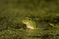 вал лягушки зеленый Стоковые Изображения RF
