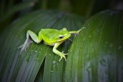 вал лягушки зеленый Стоковые Фотографии RF