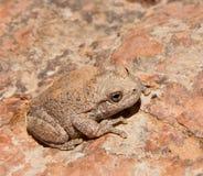 вал лягушки каньона стоковые изображения rf