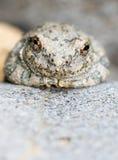 вал лягушки каньона Стоковая Фотография RF
