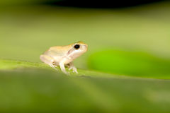 вал лягушки младенца Стоковые Фотографии RF