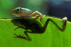 вал лягушки Стоковые Фото