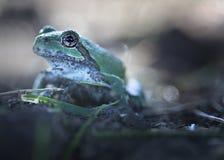 вал лягушки Стоковое Изображение
