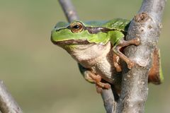 вал лягушки Стоковое Фото